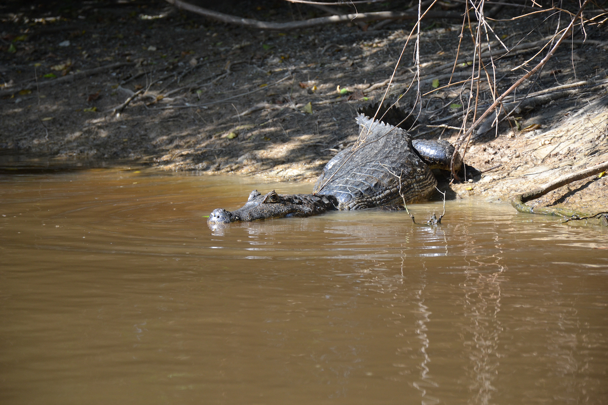 bolivia rurrenabaque alligator