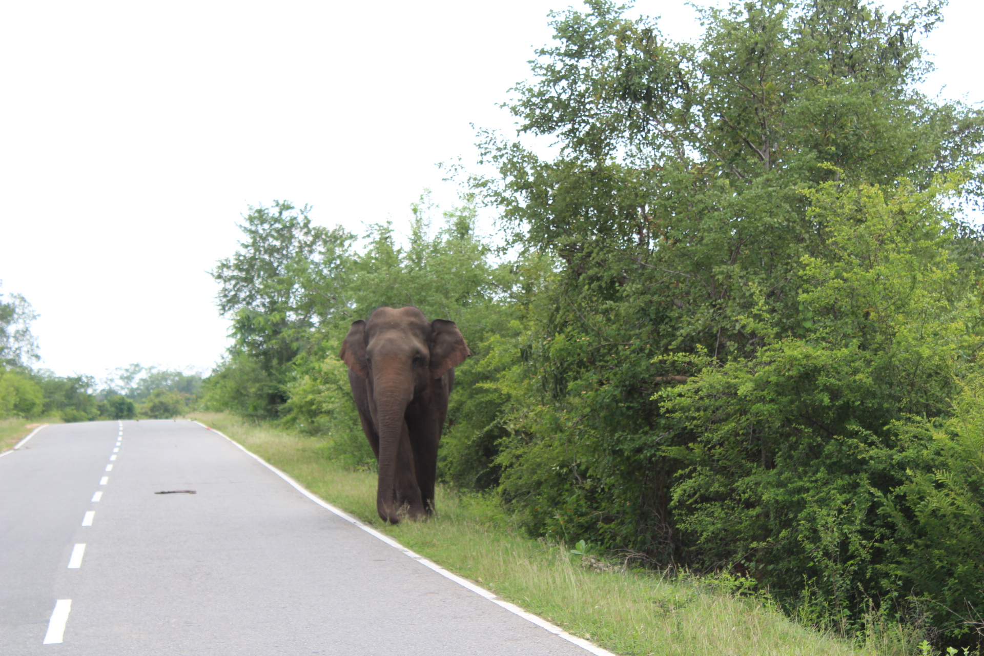 yala national park olifant